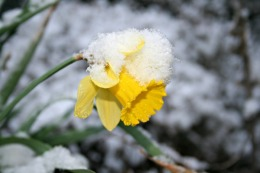 daffodil-in-the-snow