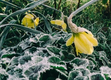 daffodil with frost (1)