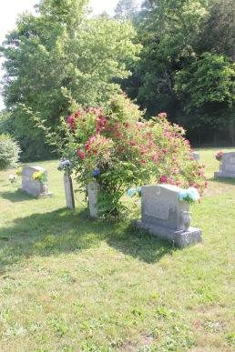 rosebush in cemetery