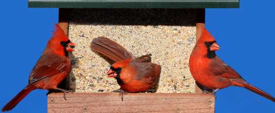 cardinal_at_feeder